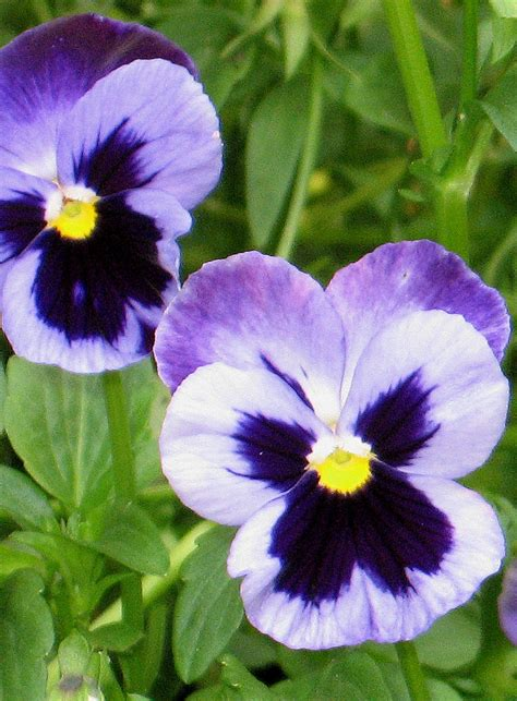 pansies flowers photo 724894 fanpop