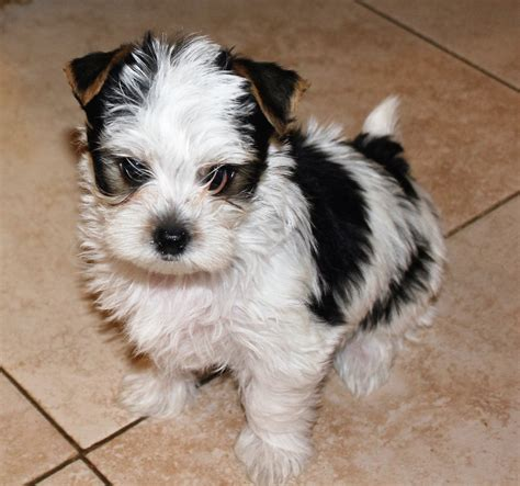 yorkie puppies for sale sacramento terrier puppies for sale sacramento photo