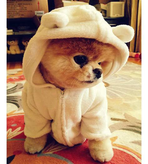 the cutest puppy in the whole wide world boo the cutest in the world with 6 9 million fb fans feminiyafeminiya