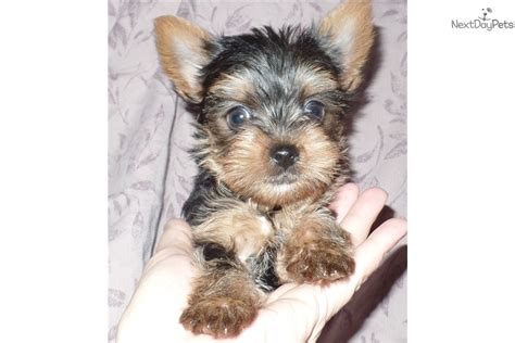 yorkie puppies indiana karem terrier yorkie puppy for sale near