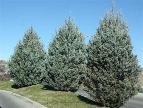 Sale Trees Blue juniper wichita blue thetreefarm