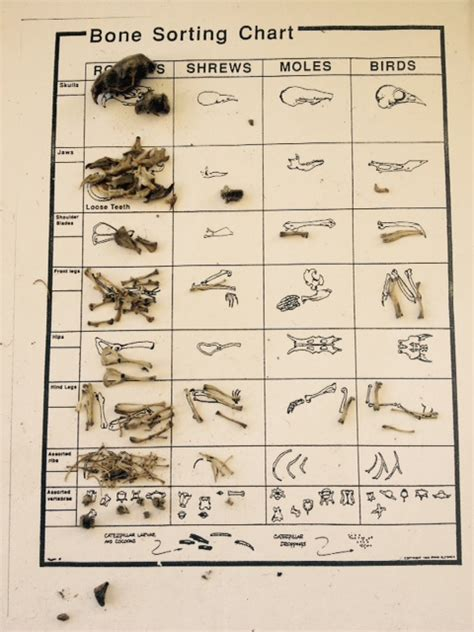 printable owl pellet bone chart welcome owl pellet dissection lab part 1 of 2