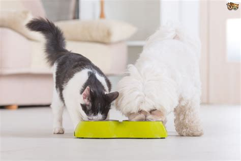can puppies eat cat food can dogs eat cat food term pets4homes
