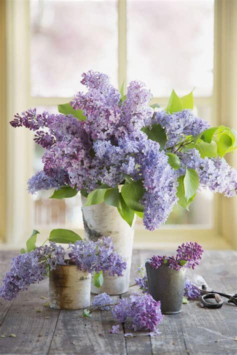 25 best ideas about lilacs on pinterest lilac plant