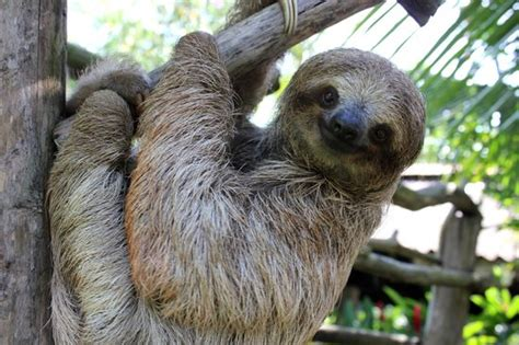 costa rica sanctuary snowball the baby sloth picture of costa rica wildlife sanctuary limon