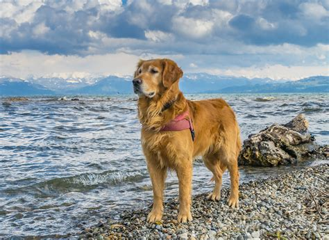 can golden retrievers be guard dogs top 10 most beautiful breeds
