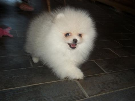 dogs 101 pomeranian wisconsin eaten out by newhairstylesformen2014