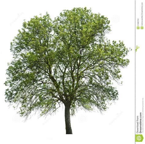 white or green tree tree isolated white stock images image 31980764