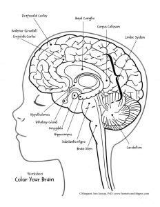 anatomy coloring pages brain best 25 brain parts ideas on brain parts and