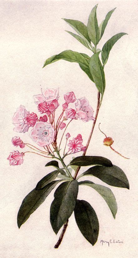 mountain laurel tattoo 87 best images about mountain laurel on