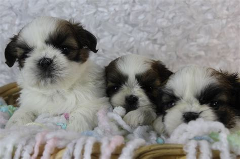 shih tzu puppies information shih tzu puppies in northern new jersey
