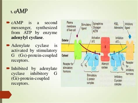 a protein activated by second messengers second messengers c and cgmp