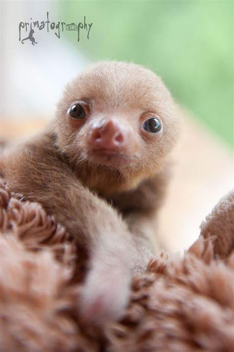 Cute Baby Sloths Tumblr   www.imgkid.com   The Image Kid