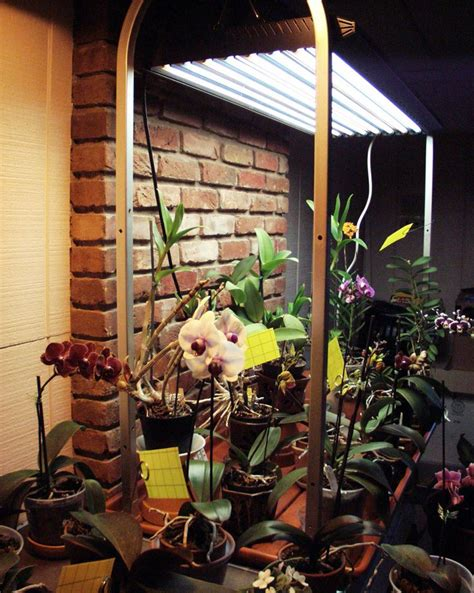 orchid collection   high output fluorescent grow