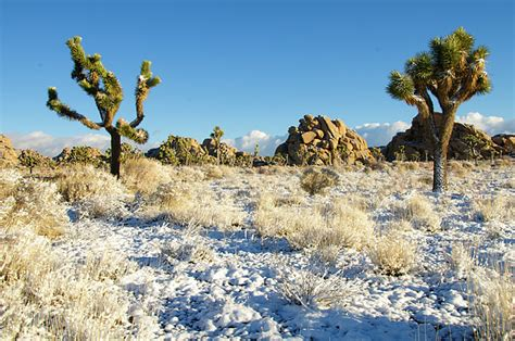 national tree snowy impearial snow in joshua tree national park photograph by connie cooper edwards
