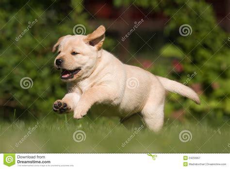 free labrador retriever puppies labrador retriever puppy royalty free stock photography image 24233957