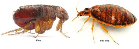fleas vs cat fleas species identification i found a bug on my bedroom floor is this a bedbug