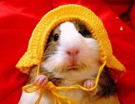 cute guinea pig 1funny com