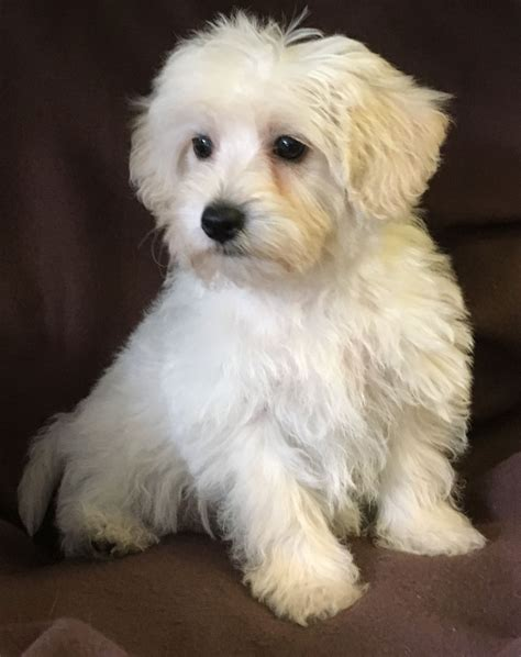 cavapoo puppies for sale in cavapoo puppies for sale in west pets4homes
