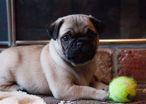 pugs bred for 7 8th pugs bred for better health and lifestyle wisbech cambridgeshire pets4homes