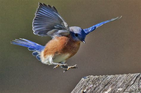 coming in for a landing ten years flying in the islands books feather tailed stories eastern bluebird havenwoods state