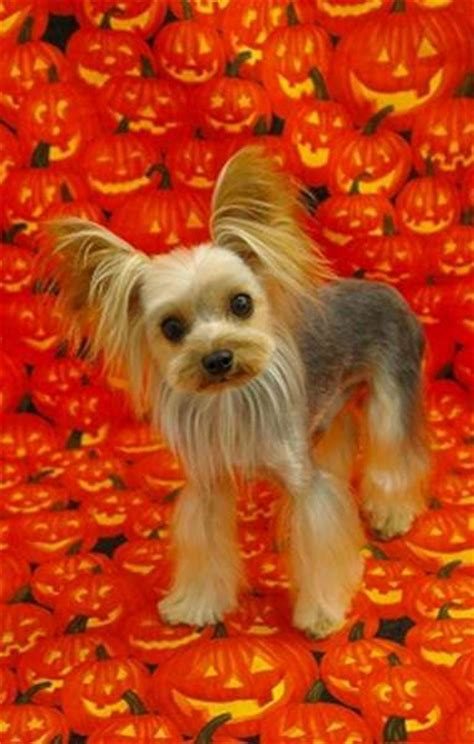 yorkie dog with lion haircut lion cut yorkie yorkshire terrier haircut
