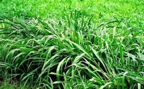 Jual Tepung Pollard hijauan 171 forsum