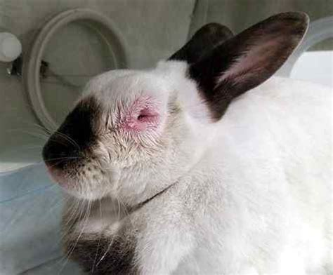 are rabbits color blind myxomatosis in the us house rabbit society