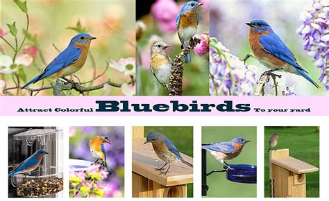 Attract Bluebirds Your Backyard by Bluebirds Bluebird Feeders Bluebird Houses Bluebird