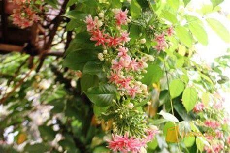 Jual Bibit Lada Perdu Di Sulawesi Selatan jual melati belanda tanaman rambat bunga supplier