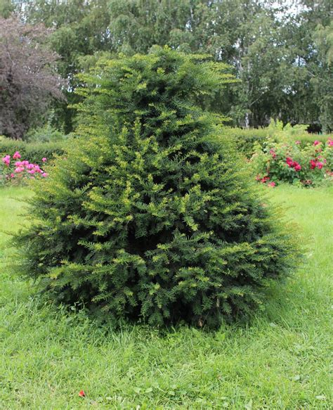 zone 8 conifer varieties learn about coniferous trees for