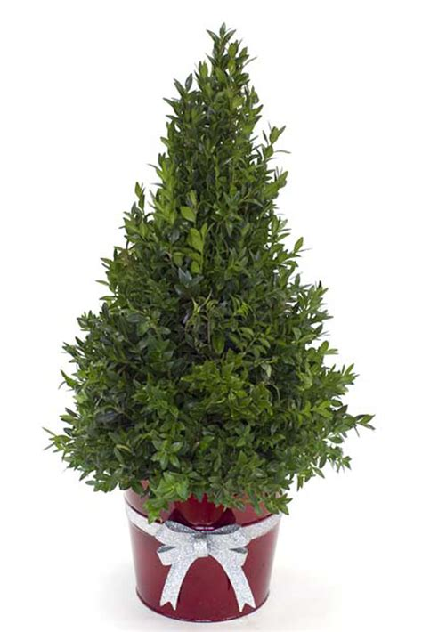 christmas boxwood tree columbus oh florist flowerama