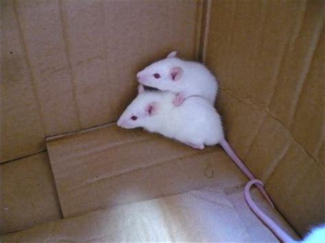 Topi Stress scienza se il ricercatore 232 uomo i topi da laboratorio