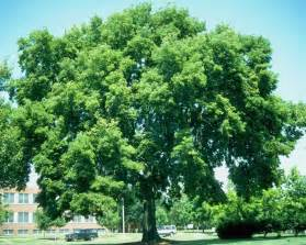chicago illinois landscaping buy river birch trees online