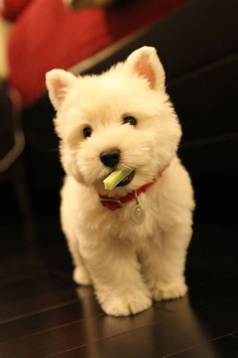 what is a westie hair styles 17 best images about haircuts for jax on pinterest white