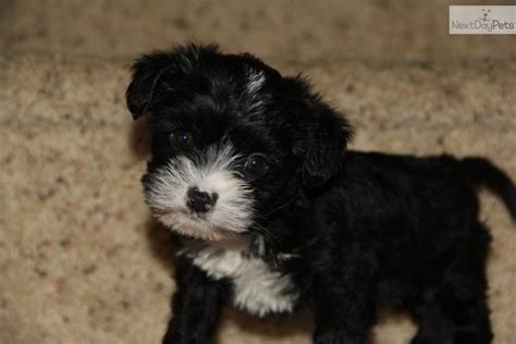 shih poo puppies for sale in michigan shih poo puppies for sale shih poo breed shih poo breeder breeds picture