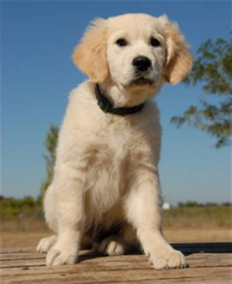a puppy to stay tackling the stay command in the most positive way to ensure success