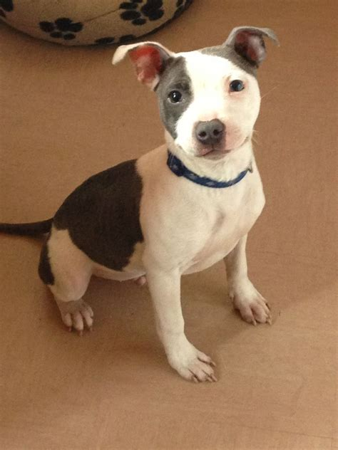 staffy puppy blue white staffy puppy ashbourne derbyshire pets4homes