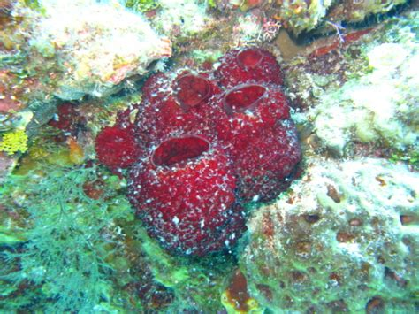 Strawberry Vase Sponge by Underwater Photos