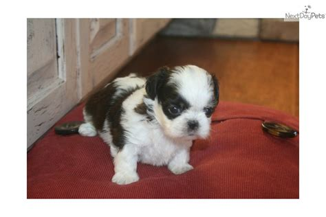 baby shih tzu names meet lilly a shih tzu puppy for sale for 600 lilly shihtzu baby