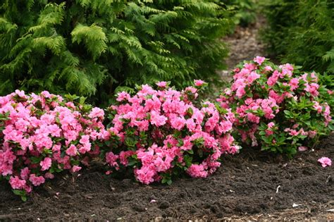 Home Decorating Ideas Kitchen bloom a thon 174 pink double rhododendron traditional