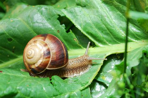 backyard snails how to naturally keep snails slugs out of your garden