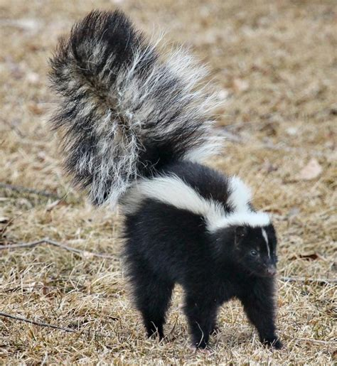 How Do You Get Rid Of Skunks A Shed by Skunks How To Identify And Get Rid Of Skunks In The