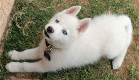 blue eyed names white husky blue names 1001doggy