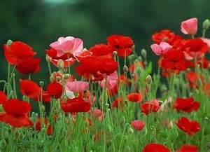 best flowers in the world red flower wallpaper