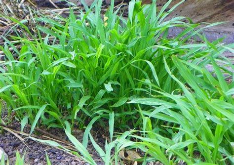 Bibit Indigofera Di Bandung inilah jenis jenis rumput hias yang sering di gunakan