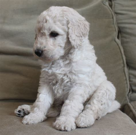 mini goldendoodles uk breeders miniature goldendoodle puppies sandwich kent pets4homes
