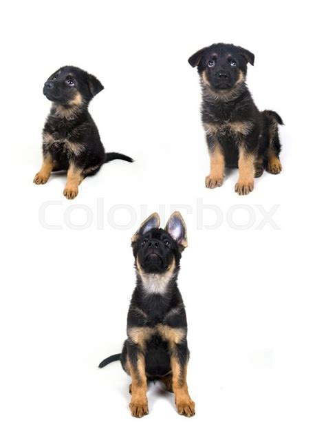 puppy growth stages stages of growth of a german shepherd puppy ages of one month two months and three