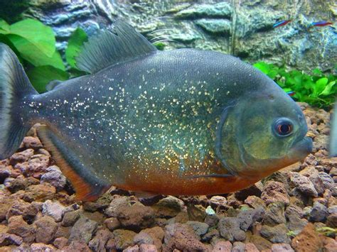alimentazione piranha piranha terraria