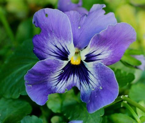 panse fiore pans 232 foto immagini piante fiori e funghi natura